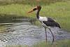 Jabirú Africano o Cigüeña de pico ensillado/Saddle-Billed Stork