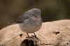 White-eyed Slaty Flycatcher /Papamoscas de Fischer