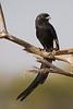 Alcaudón pío/Magpie Shrike (Corvinella melanoleuca)