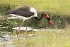 Jabirú Africano o Cigüeña de pico ensillado/ Saddle-Billed Stork
