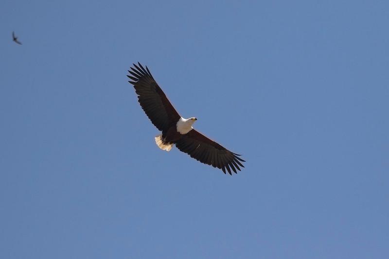 Pigargo vocinglero/ African Fish Eagle