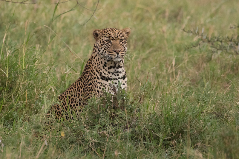 Leopardo/Chui/Leopard