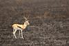 Gacela de Thompson (Gazella rufifrons)