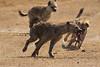 Hienas manchadas disputándose un conejo