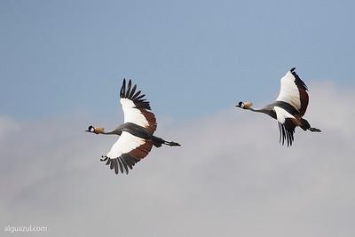 Grullas coronadas. Grey Crowned-Crane (Balearica regulorum)