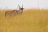 Elán (Taurotragus oryx)