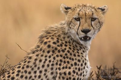 Guepardo/Duma/Cheetah