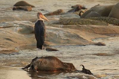 Marabú y cocodrilos en el Mara