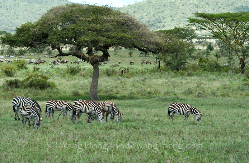 Zebras, lions and wildebeests in Serengeti National Park, northern Tanzania 坦桑尼亚北部塞伦盖蒂国家公园斑马、狮子和角马和平共处
