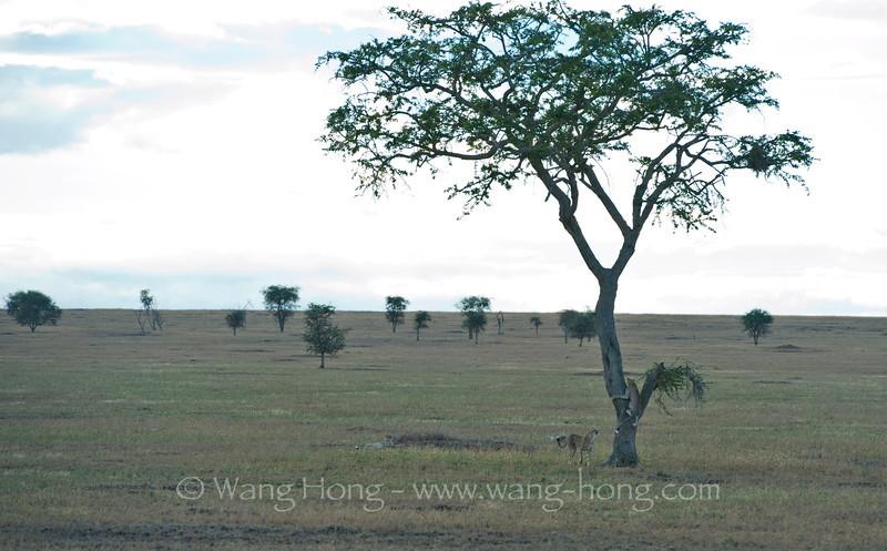 Cheetas at dusk, in Serengeti National Park, northern Tanzania  坦桑尼亚北部塞伦盖蒂国家公园黄昏时猎豹