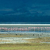 Flamingos at the salt lake In Ngorongoro Crater, Tanzania 坦桑尼亚恩戈罗恩戈罗火山口内的火烈鸟和盐湖