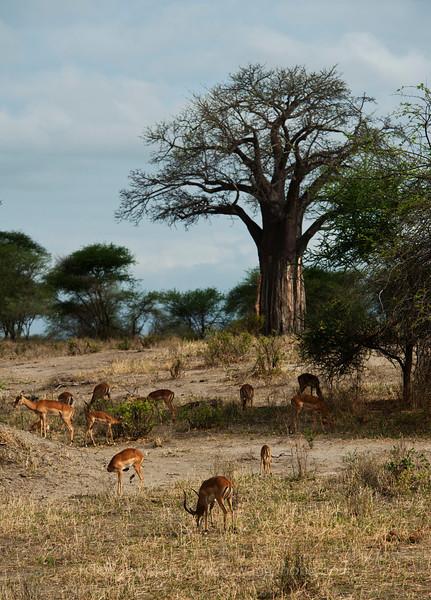 Antelopes and baobab tree in Tarangire National Park, northern Tanzania  坦桑尼亚北部塔拉哥尔国家公园内