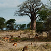 Antelopes and baobab tree in Tarangire National Park, northern Tanzania  坦桑尼亚北部塔拉哥尔国家公园内