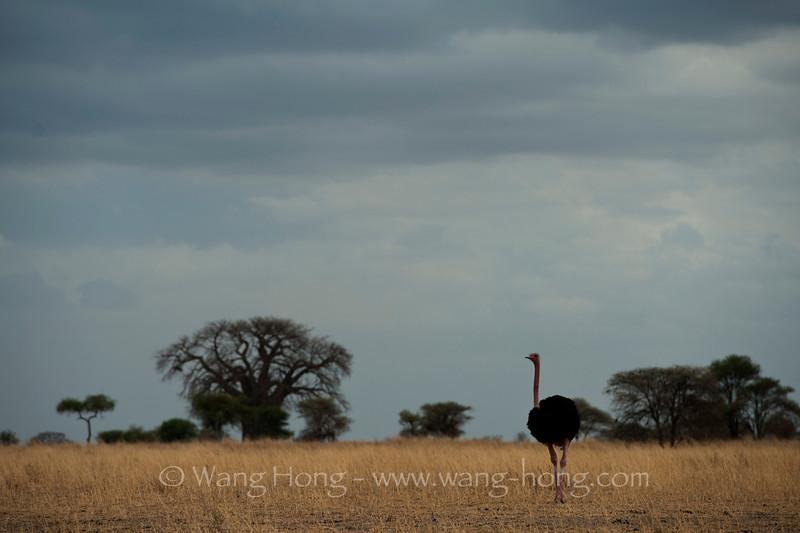 Ostrich in Tarangire National Park, northern Tanzania  坦桑尼亚北部塔拉哥尔国家公园内的鸵鸟