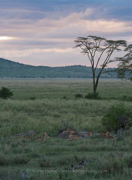 Lions in Serengeti National Park at sunset, northern Tanzania 坦桑尼亚北部塞伦盖蒂国家公园日落时的狮群与金合欢树。