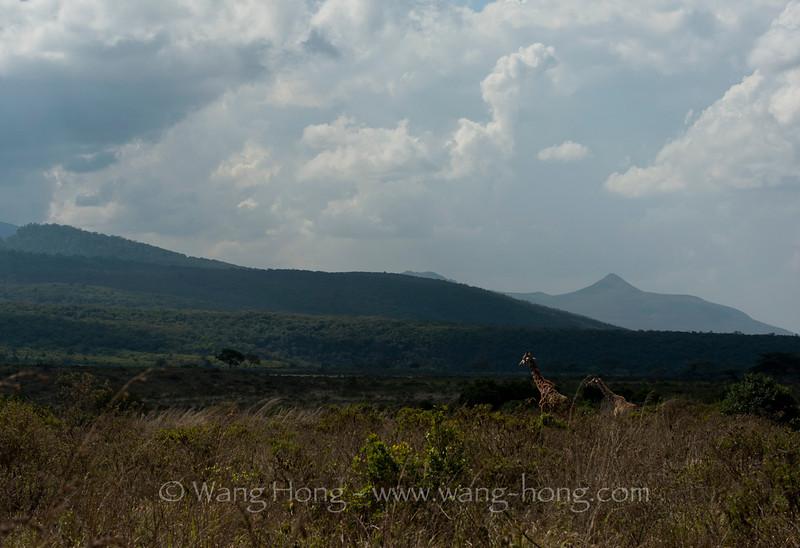 Giraffs in Arusha National Park, northern Tanzania 坦桑尼亚北部阿鲁沙国家公园内的长颈鹿