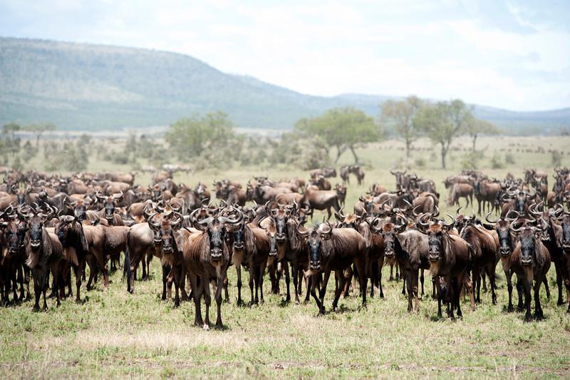 Migrating wildebeests in Serengenti National Park, north Tanzania 坦桑尼亚北部塞伦盖蒂国家公园迁徙中的角马
