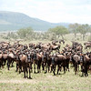 Migrating wildebeests in Serengenti National Park, north Tanzania 坦桑尼亚北部塞伦盖蒂国家公园迁徙中的角马