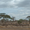 Zebras and wildebeests in Tarangire National Park, Tanzania  坦桑尼亚北部塔拉哥尔国家公园内斑马和角马