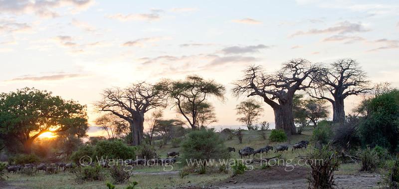 Wildebeests at sunrise in Tarangire National Park, northern Tanzania 坦桑尼亚北部塔拉哥尔国家公园日出时的角马群