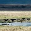 Hippos and hayenas in Ngorongoro Crater. 坦桑尼亚恩戈罗恩戈罗火山口内河马和鬣狗