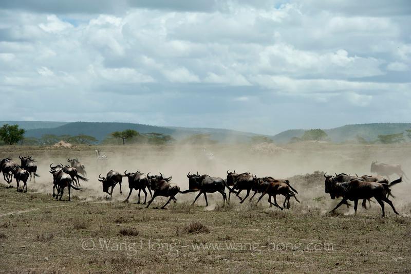 Wildebeests in Serengeti National Park, northern Tanzania 坦桑尼亚北部塞伦盖蒂国家公园角马奔腾