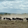 Wildebeests in Serengeti National Park, northern Tanzania 坦桑尼亚北部塞伦盖蒂国家公园角马奔腾