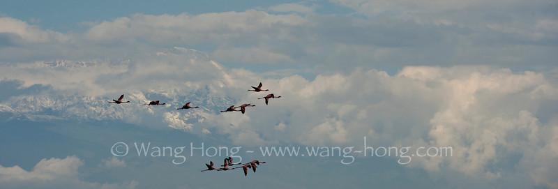 Flamingos flying with Mt. Kilimanjaro at the back, Arusha National Park, northern Tanzania 坦桑尼亚北部阿鲁沙国家公园看火烈鸟掠过乞立马扎罗的雪峰