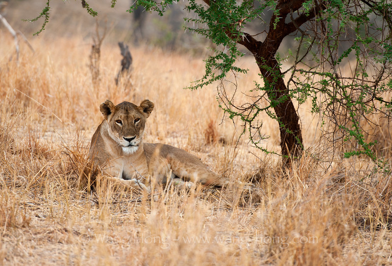 In Serengeti National Park, northern Tanzania 在坦桑尼亚北部塞伦盖蒂国家公园