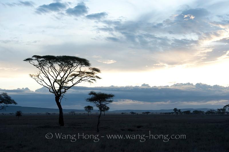 In Serengeti National Park, Tanzania  坦桑尼亚北部塞伦盖蒂国家公园内金合欢树