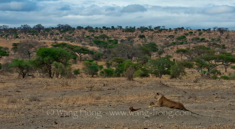 Lioness and cubs in Tarangire National Park, northern Tanzania 坦桑尼亚北部塔拉哥尔国家公园中,母狮与幼狮