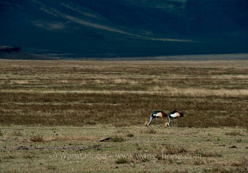 In Ngorongoro Crater, crowned cranes 坦桑尼亚恩戈罗恩戈罗火山口的皇冠鹤