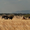 Elephants in Serengeti National Park, northern Tanzania 坦桑尼亚北部塞伦盖蒂国家公园的象群