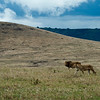 Lion and lioness marching in Ngorongoro Crater, northern Tanzania 坦桑尼亚恩戈罗恩戈罗火山口雄狮与母狮并行