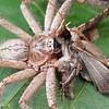 Huntsman spider with moth prey