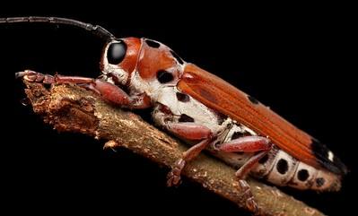Ladybird-mimicking longhorn beetle