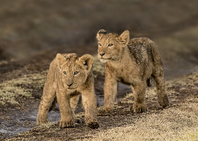 Wary Cubs