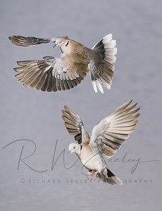 Dove Pair Prepare For Landing
