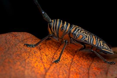 Longhorn beetle (Zographos hieroglyphicus)