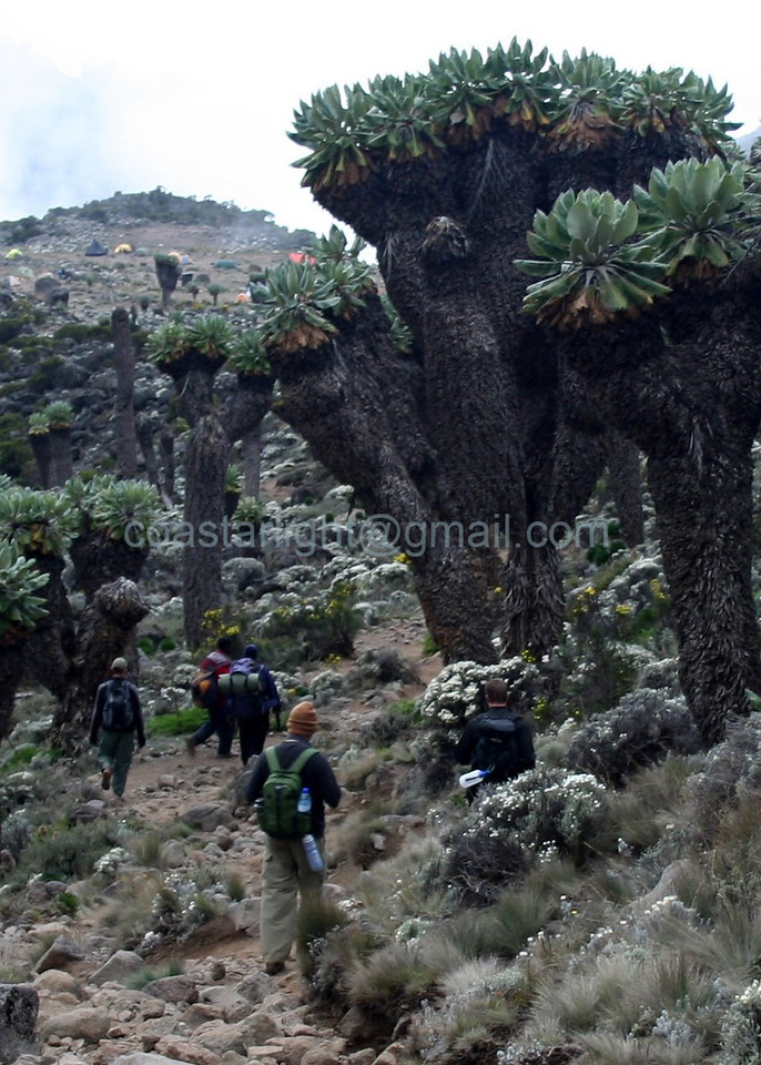 Senecio Kilimanjari trees on Mount Kilimanjaro