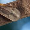Seed-mimicking tenebrionid beetle (Cossyphus sp.)