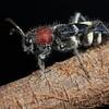 Vetlvet ant-mimicking longhorn beetle