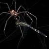 Nursery web spider (Pisauridae) with dragonfly prey