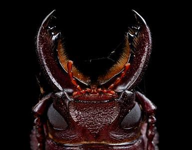 Longhorn beetle portrait (Prioninae)