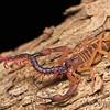 Scorpion (Babyurus gigas) eating scolopendra prey (Alipes sp.)