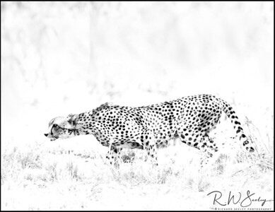 Cheetah Stalks Prey