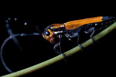 Lycid beetle-mimicking longhorn beetle (Amphidesmus sp.)