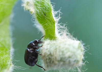 Leaf rolling beetle