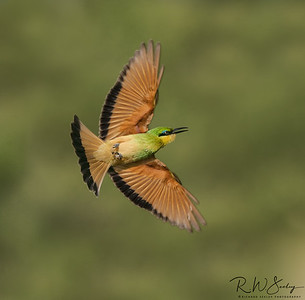 Bee-Eater Chasing a Bee