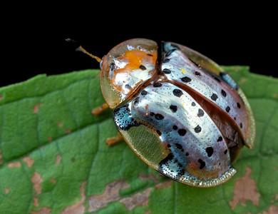 Silver tortoise beetle (Cassidinae)